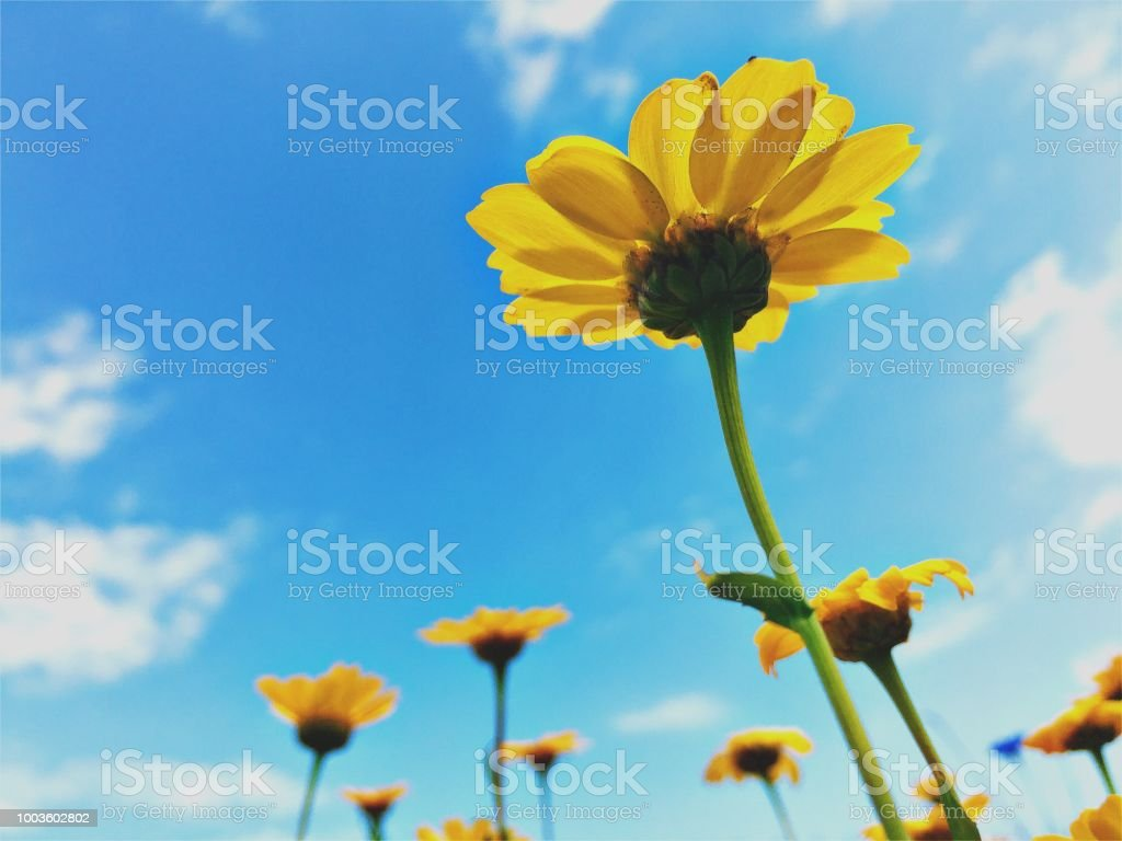 Yellow Daisies and Blue Sky from Ground Level stock photo