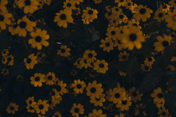 Yellow daisies background