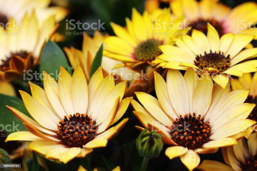 Pâquerettes jaunes dans le jardin photo libre de droits