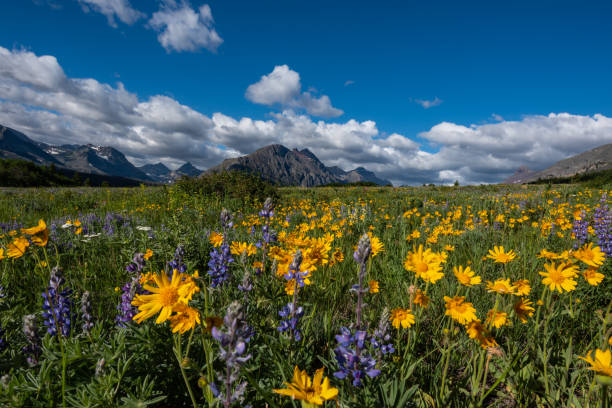 yellow daisies in wildflower field in montana - us glacier national park stock pictures, royalty-free photos & images
