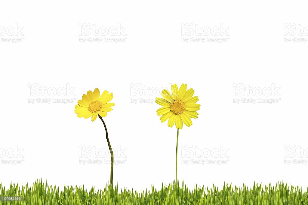 Yellow daisies isolated on grass stock photo