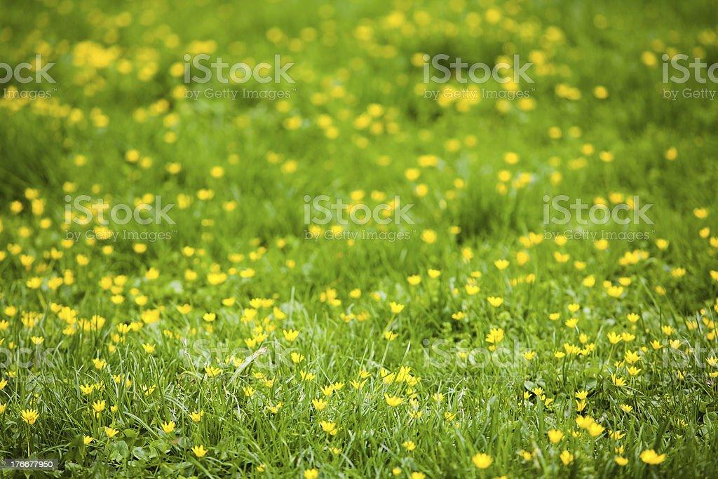 Amarillo daisies foto de stock libre de derechos