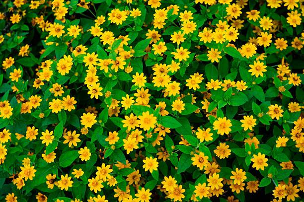 yellow daisies - meerdere lagen effect stockfoto's en -beelden
