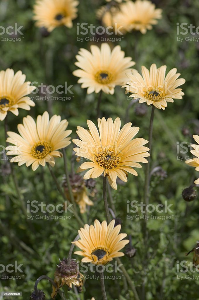 yellow daisies ( gerbera ) royalty-free stock photo