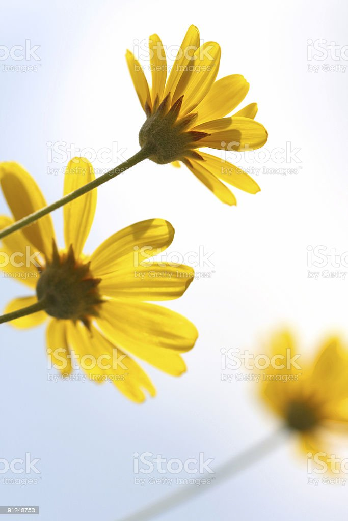 Yellow Daisies seen from below royalty-free stock photo