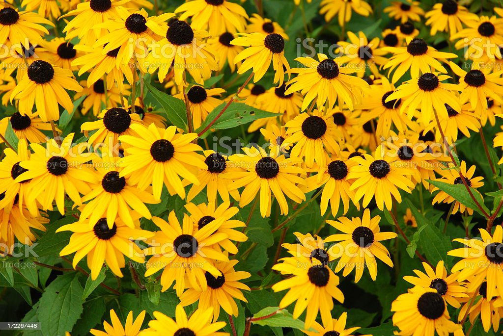 Yellow daisies with brown centers growing freely royalty-free stock photo