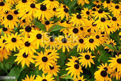 black eye susan's in a flower garden.