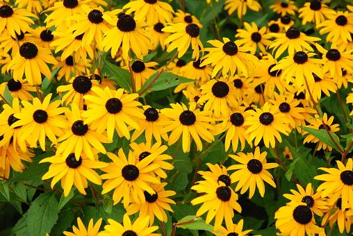 black eye susan's in a flower garden.