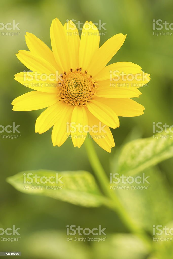 Yellow daisies-Heliopsis-Loraine sunshine royalty-free stock photo