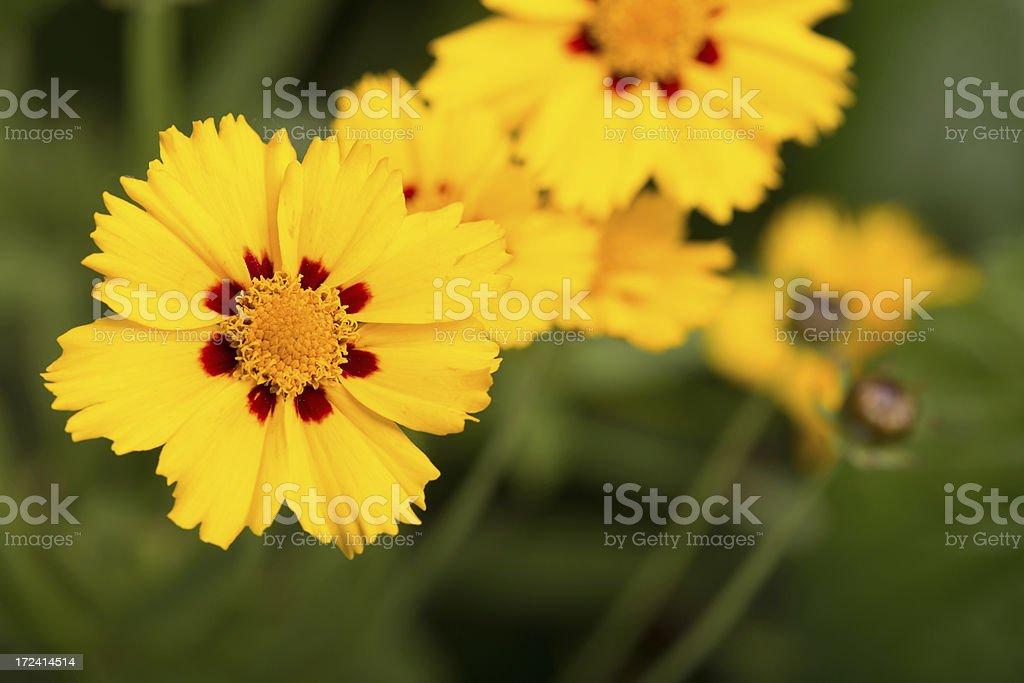 Yellow daisies-Tickseed coreopsis royalty-free stock photo