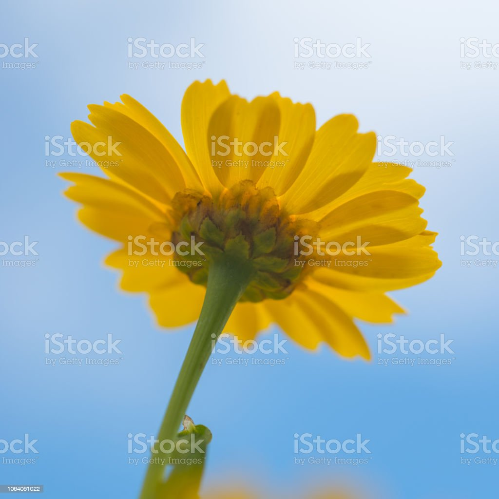 Yellow Daisy and Blue Sky stock photo