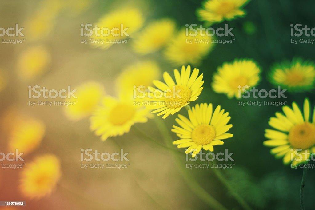 Yellow daisy and green grass stock photo