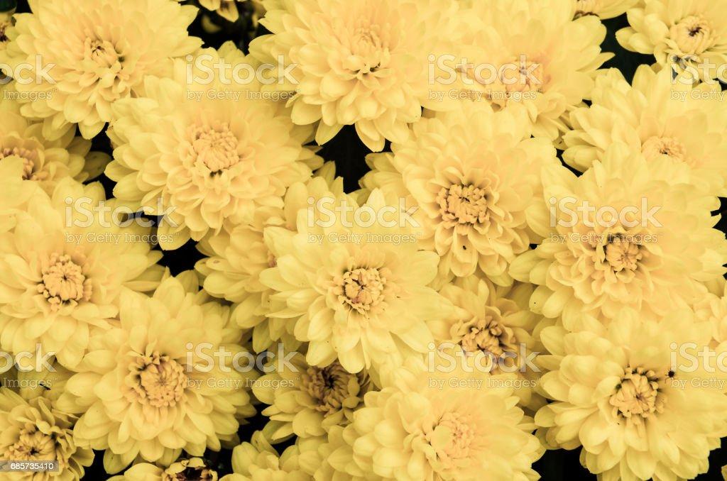 Yellow daisy bouquet macro closeup royalty-free stock photo