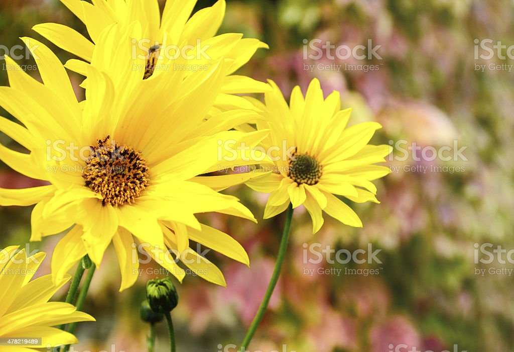 yellow daisy commonly known as a u0027lazy susanu0027 stock photo
