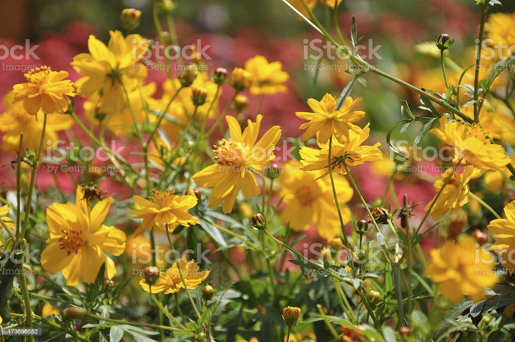 Yellow Daisy - Cosmos Sulfureus stock photo