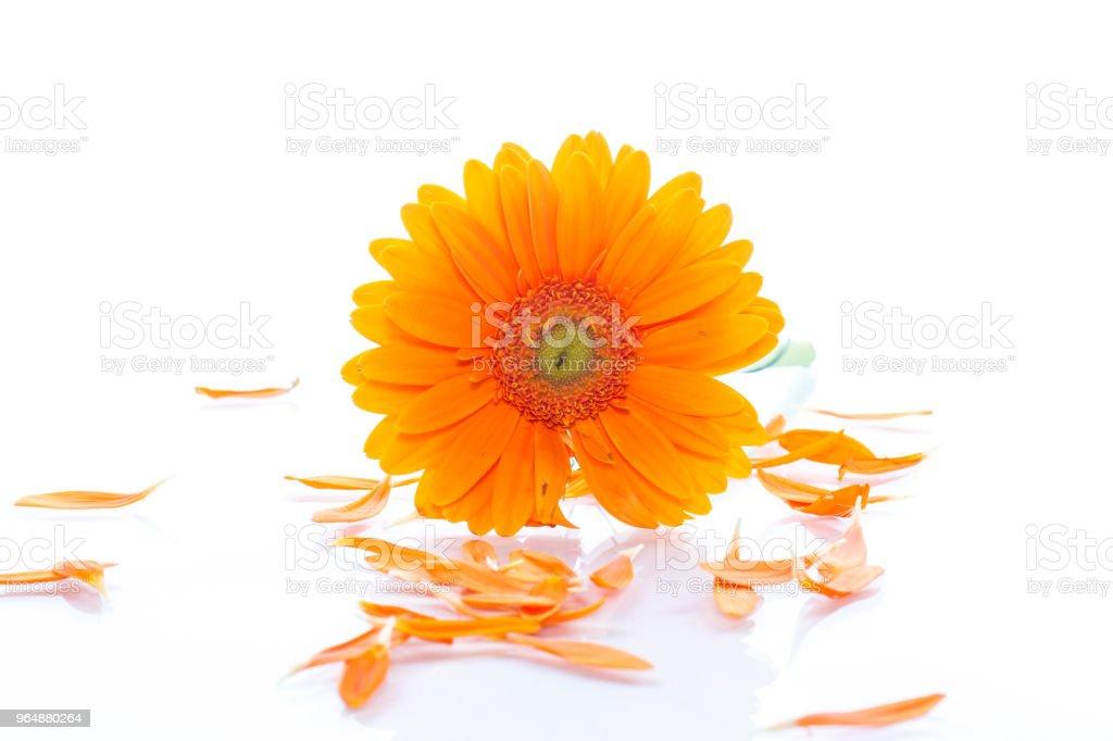 Yellow daisy flower isolated royalty-free stock photo