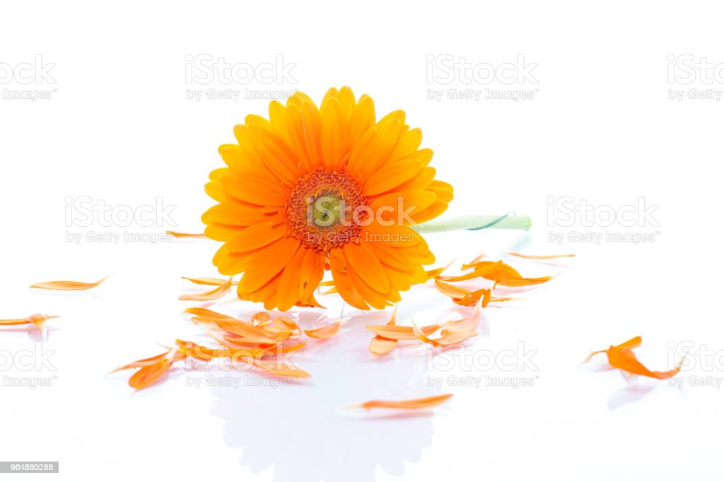 Yellow daisy flower isolated royalty-free stock photo