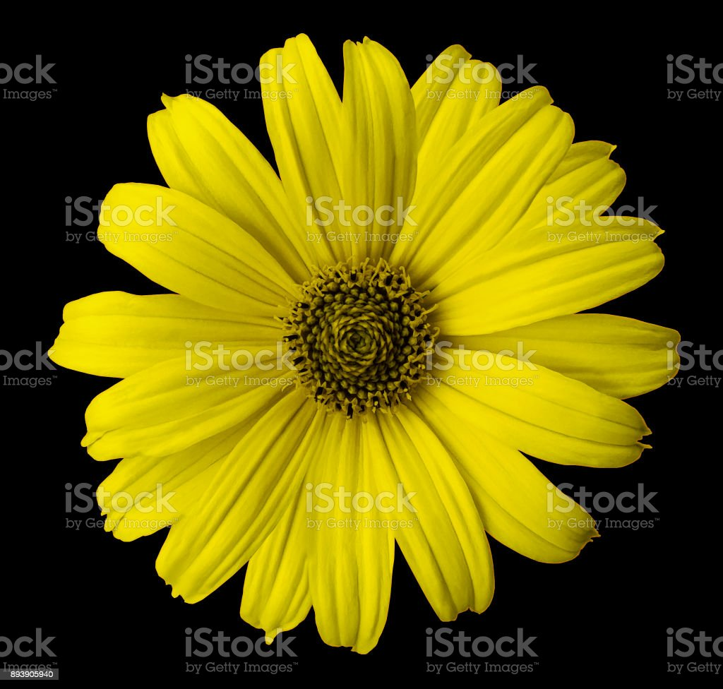 Yellow Daisy Flower On The Black Isolated Background With Clipping