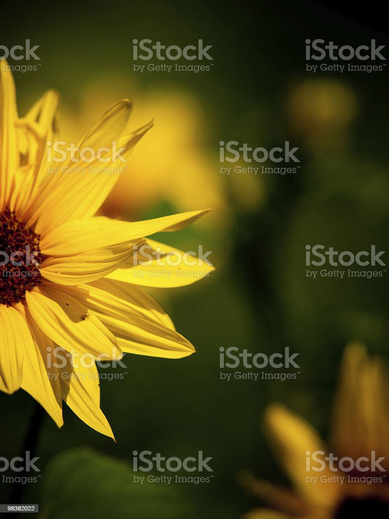 Yellow Daisy Flower royalty-free stock photo