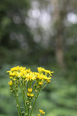 Yellow daisy type flowers growing in a forest. Focus is on the yellow flowers only. Taken in July time in Sherwood Forest in the UK.