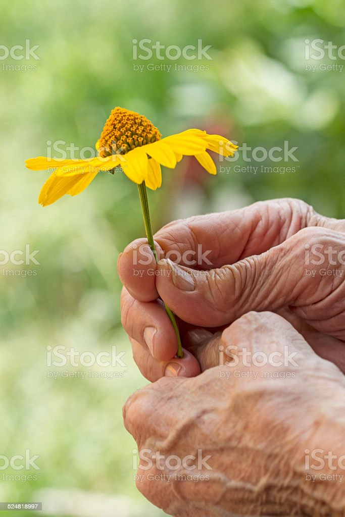 Yellow daisy in older women stock photo