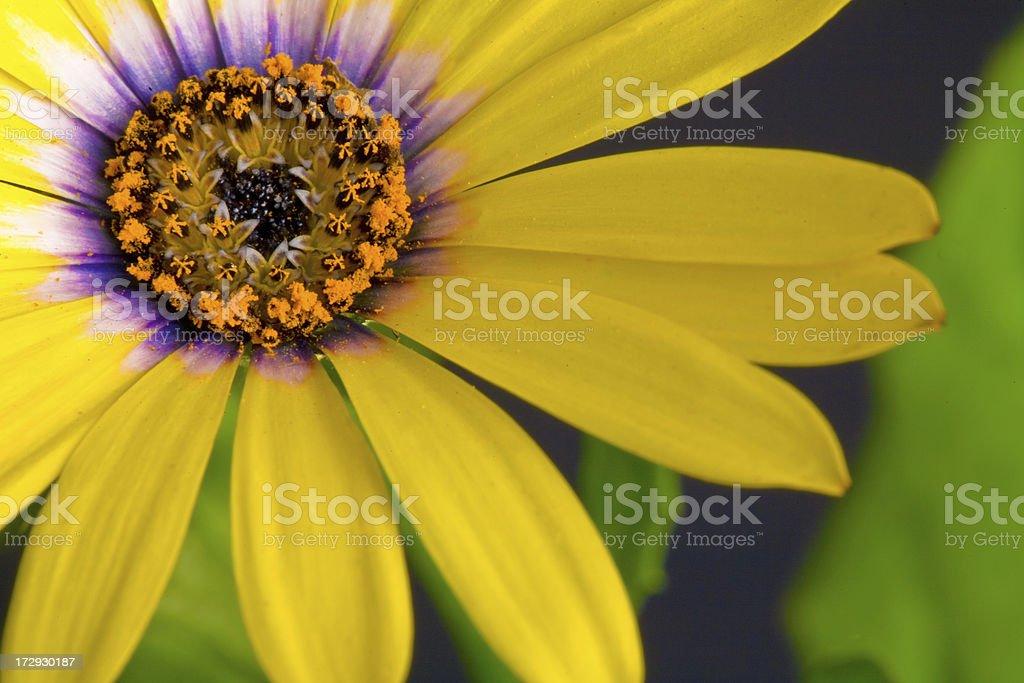 Yellow daisy macro royalty-free stock photo