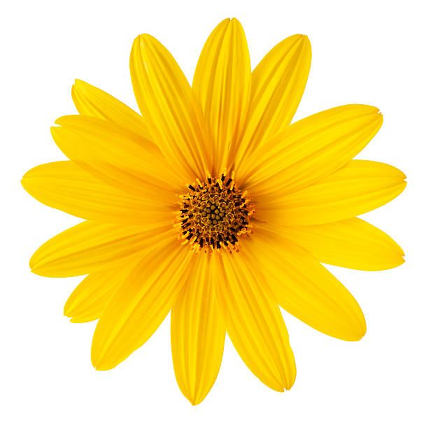 Yellow daisy on white background. Detailed clipping path include stock photo