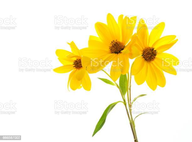 Photo of Yellow daisy on white background