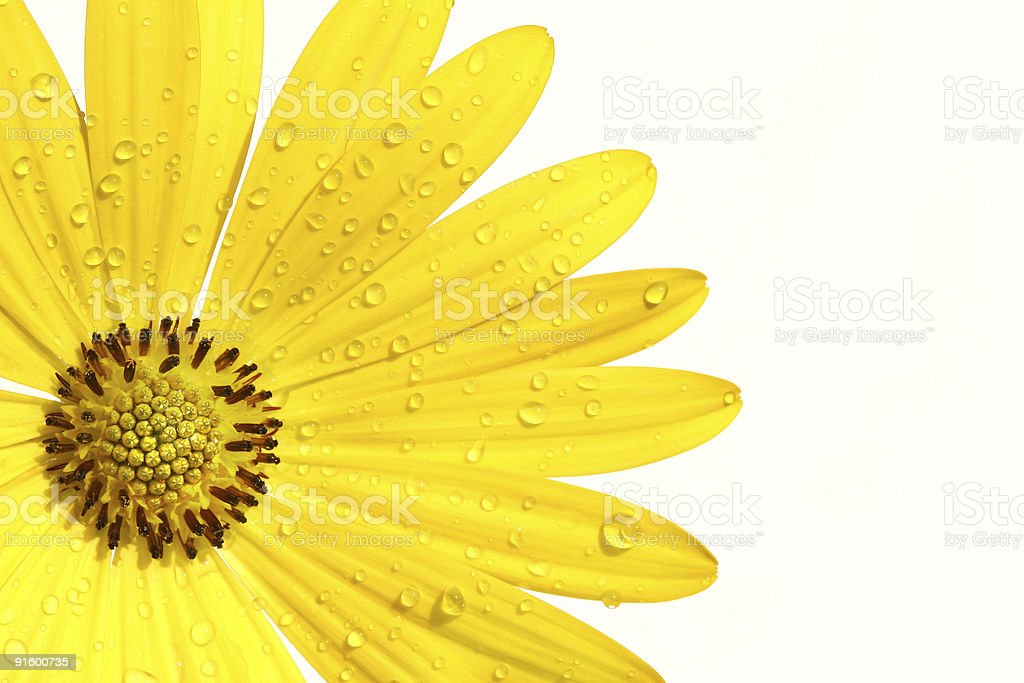 Yellow daisy on white background stock photo