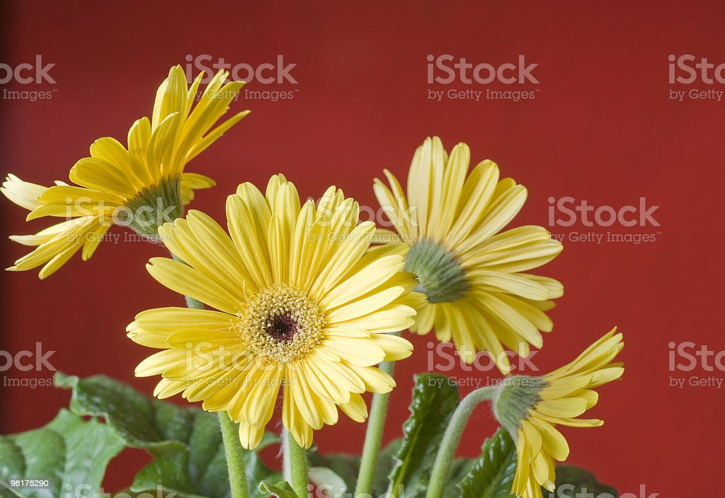 Yellow daisy over red background royalty-free stock photo