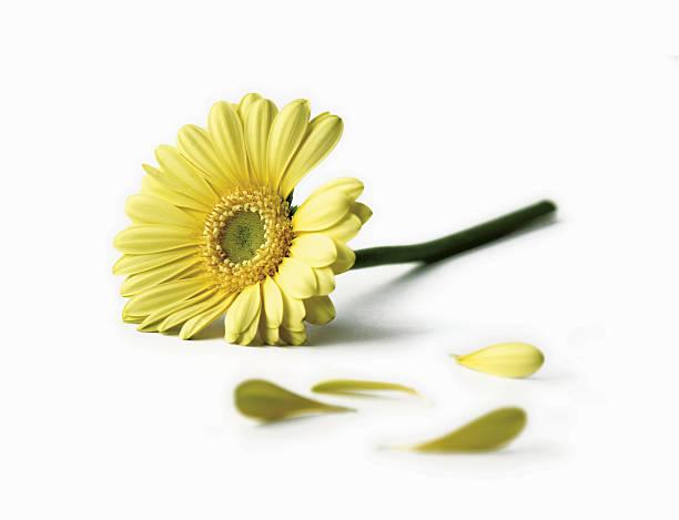 Yellow daisy picture id157377563?b=1&k=6&m=157377563&s=612x612&w=0&h=pvajpw7g3 pjbcjfrq2uro pveth5oqo0vwubpfq5lm=