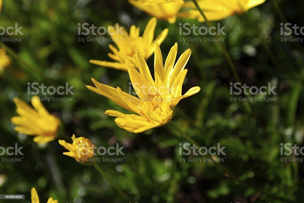 Yellow Daisy royalty-free stock photo