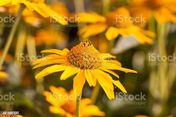 Yellow daisy picture id491685490?b=1&k=6&m=491685490&s=612x612&h=tagiyq6gvkfkjyvpnnhp7fw2mz717zw6nnvs2biiac8=