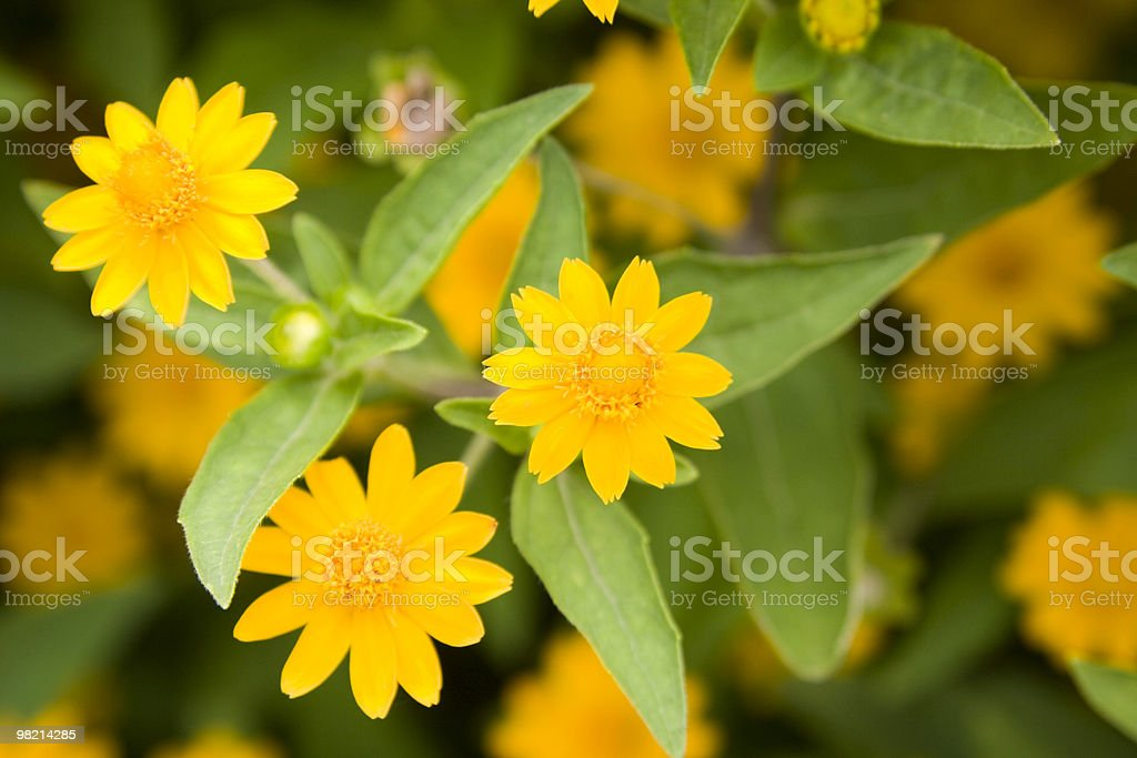 yellow daisy royalty-free stock photo