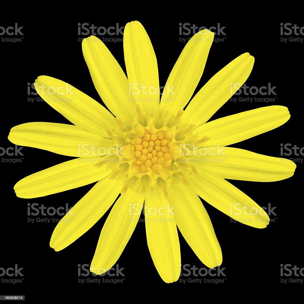 Yellow daisy wildflower Isolated on Black royalty-free stock photo