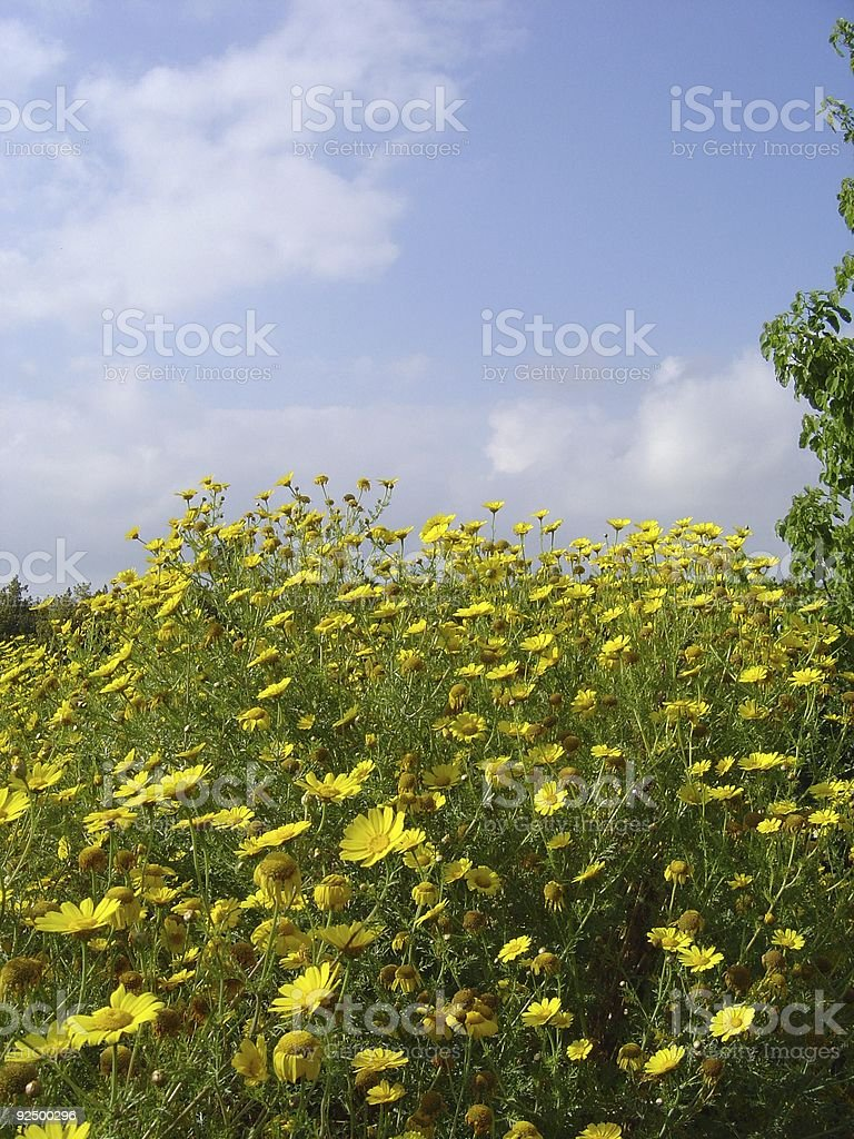 Yellow Daisy Wildflowers in Spring royalty-free stock photo
