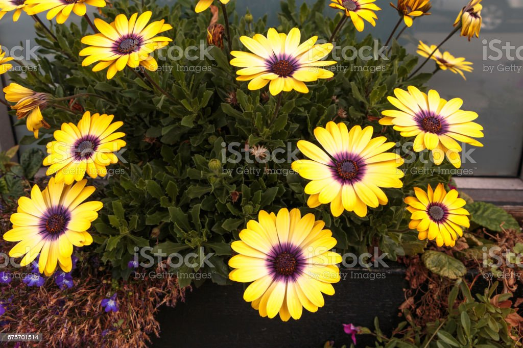 Yellow Daisy with Purple Center royalty-free stock photo