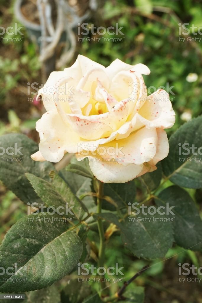 yellow damask rose flower in nature garden - Royalty-free Amarelo Foto de stock
