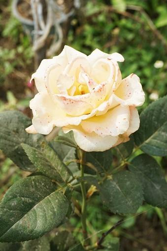 Yellow Damask Rose Flower In Nature Garden — стоковые фотографии и другие картинки Без людей
