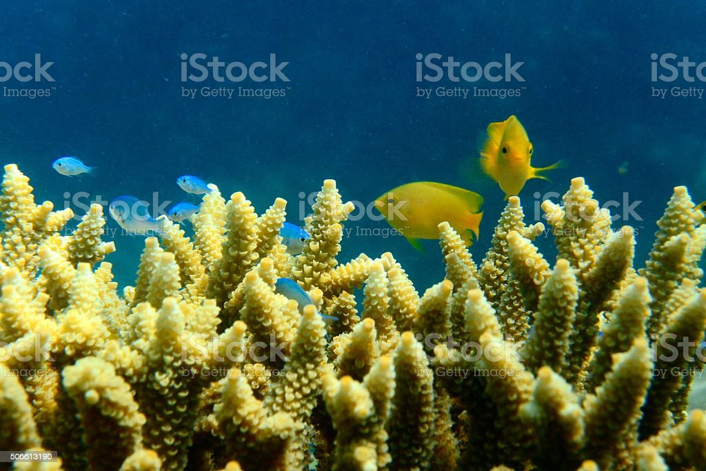 Yellow damsel fish in staghorn coral stock photo