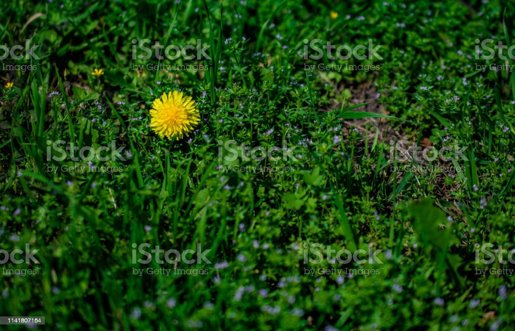 Yellow dandelion bloom in green stock photo
