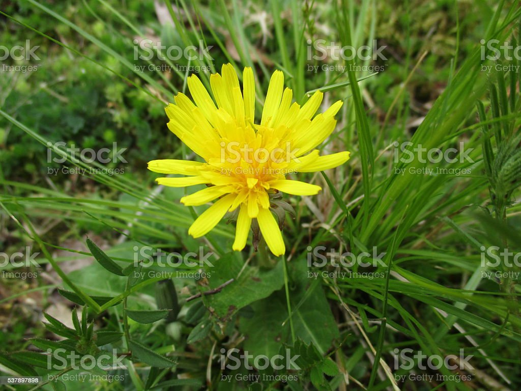 Yellow Dandelion Blossom Surrounded by Green Foliage royalty-free stock photo