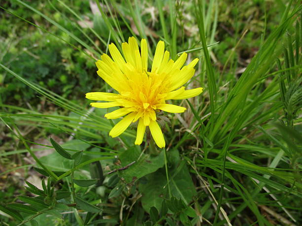 Yellow Dandelion Blossom Surrounded by Green Foliage stock photo