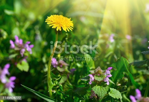 643781968 istock photo Yellow dandelion. Bright floral dandelions on a background green spring meadows. 1149828222