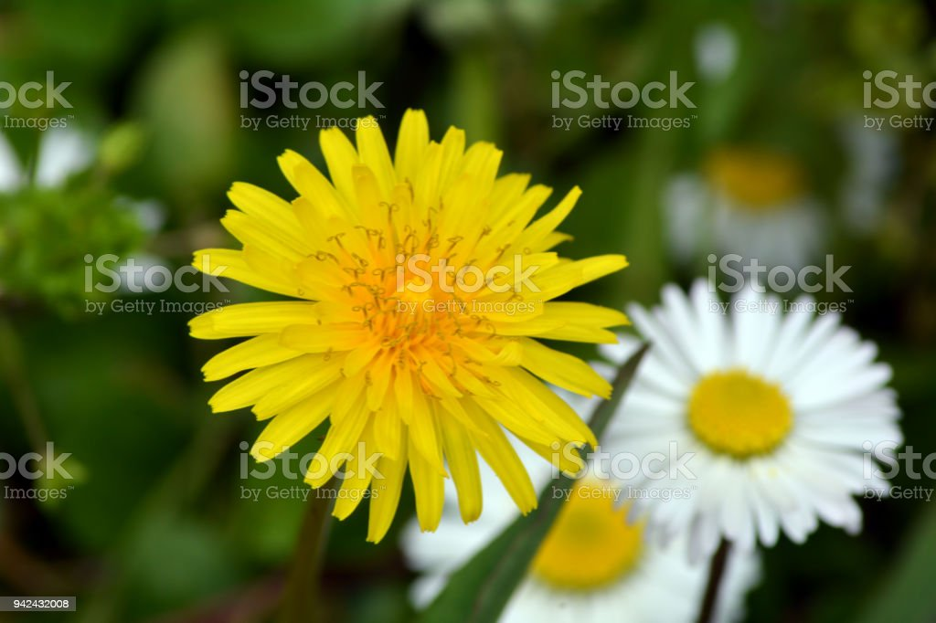 Yellow dandelion flower and white daisies stock photo more yellow dandelion flower and white daisies royalty free stock photo mightylinksfo