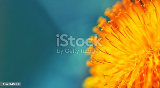 istock yellow dandelion flower close up, macro, spring background. Closeup of yellow spring flowers on the ground 1149145026