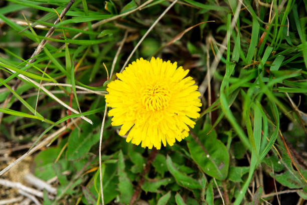 Yellow dandelion flower in the grass stock photo