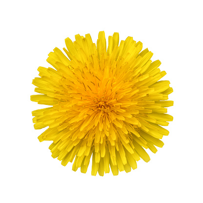 Yellow dandelion flower isolated on white background close-up