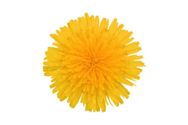 gul maskros blomma, isolerad på vit bakgrund - foderblad bildbanksfoton och bilder