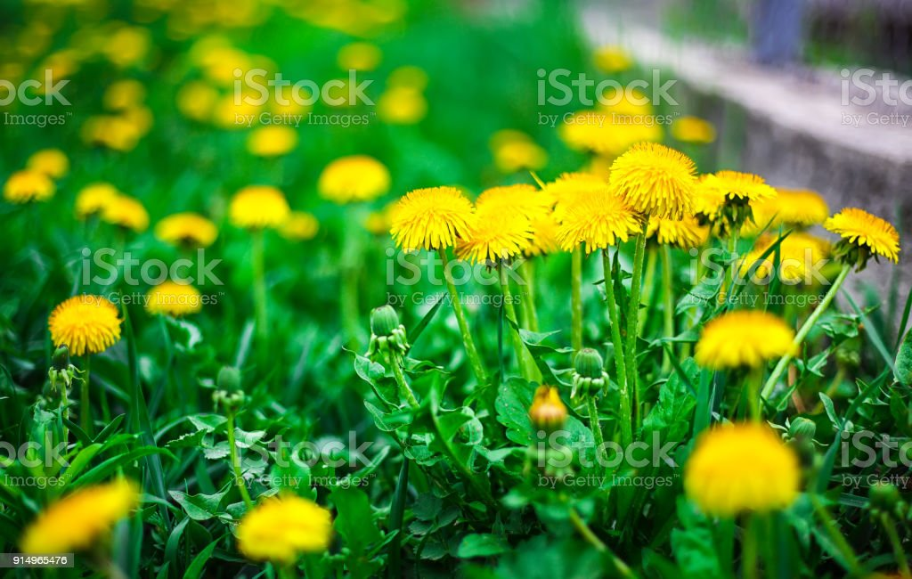 yellow dandelion flower royalty-free stock photo
